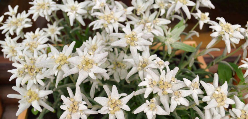 Eidlweiss flower
